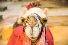 Cammello sorridente, cammello Fotografia Stock