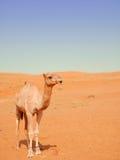Cammello sorridente nel deserto di Wahiba, Oman Immagine Stock