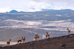 Cammello sudamericano selvaggio, le Ande dell'Ecuador centrale Immagini Stock Libere da Diritti