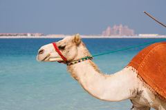 Cammello sulla spiaggia Doubai di Jumeirah Immagine Stock