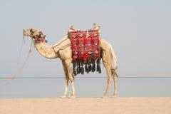 Cammello sulla spiaggia. L'Egitto fotografia stock libera da diritti