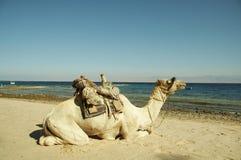 Cammello sulle linee costiere del Mar Rosso Fotografia Stock