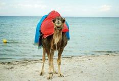 Cammello sulle rive sabbiose del mar Mediterraneo fotografia stock libera da diritti