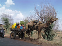 Cammello Trasport nel Ragiastan, India Fotografie Stock Libere da Diritti