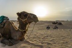 Cammello Tunisia fotografia stock