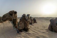 Cammello Tunisia immagini stock