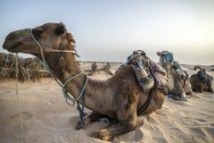Cammello Tunisia fotografia stock libera da diritti