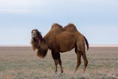 Cammello two-humped battriano marrone domestico in deserto del Kazakistan Immagini Stock