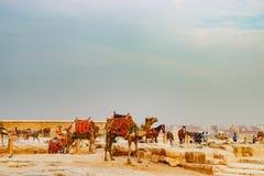 Cammello vicino alla piramide antica a Il Cairo, Egitto Fotografia Stock