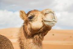 Cammello in Wahiba Oman Fotografie Stock Libere da Diritti