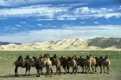 Cammels in de Goby Woestijn, Mongolië royalty-vrije stock foto's