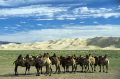 Cammels in the Goby Desert, Mongolia Royalty Free Stock Photos
