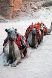 Cammels at Petra Stock Images