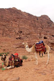 Cammels at Petra, Urn Tomb in the background. Stock Photography