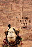 Cammels at Petra, Urn Tomb inbackground. Cammels at Petra, Urn Tomb in the background, Lost rock city of Jordan. Petra's temples, tombs, theaters and other Stock Photo