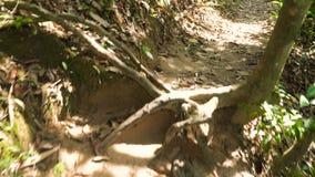 Camminando attraverso la giungla video d archivio