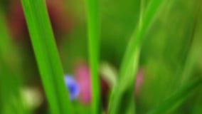Camminando con la macro dell'erba video d archivio