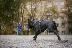 Camminando il bulldog francese del cane Fotografie Stock Libere da Diritti