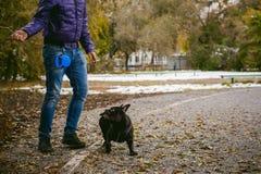 Camminando il bulldog francese del cane Immagini Stock