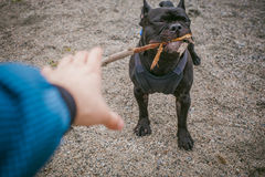 Camminando il bulldog francese del cane Immagine Stock Libera da Diritti