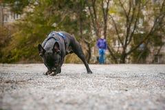 Camminando il bulldog francese del cane Fotografia Stock