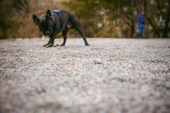 Camminando il bulldog francese del cane Fotografie Stock