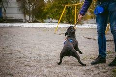 Camminando il bulldog francese del cane Fotografia Stock Libera da Diritti