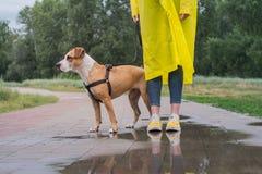 Camminando il cane in impermeabile giallo il giorno piovoso Persona femminile a fotografia stock