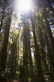 Camminando la foresta della sequoia Immagini Stock