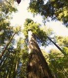 Camminando la foresta della sequoia Fotografia Stock