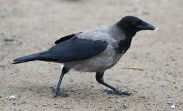 Camminando sul corvo a terra con pezzo di carta in suo becco fotografie stock