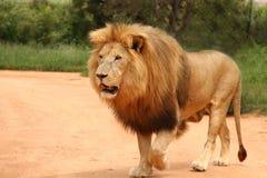 Camminare africano del leone Immagini Stock