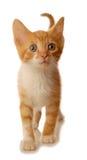 Camminare bianco ed arancione del gattino Fotografie Stock Libere da Diritti