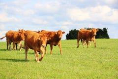 Camminare dei bovini da carne del Limousin Fotografia Stock Libera da Diritti