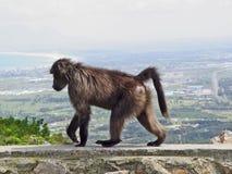 Camminare del babbuino Fotografia Stock Libera da Diritti