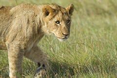 Camminare del cub di leone Fotografia Stock Libera da Diritti