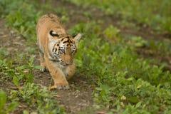 Camminare del Cub di tigre Immagine Stock Libera da Diritti
