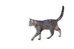 Camminare del gattino del Tabby Fotografie Stock
