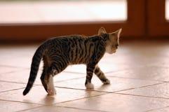 Camminare del gatto Immagini Stock Libere da Diritti