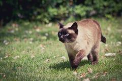 Camminare del gatto siamese Immagine Stock Libera da Diritti