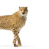 Camminare del ghepardo Immagini Stock