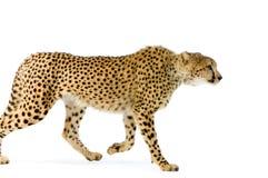 Camminare del ghepardo fotografia stock