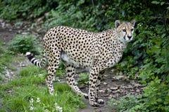 Camminare del ghepardo Immagini Stock Libere da Diritti