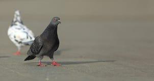 Camminare del piccione Immagini Stock Libere da Diritti