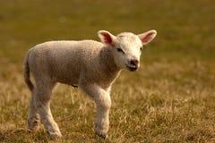 Camminare dell'agnello Fotografie Stock