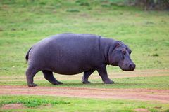 Camminare dell'ippopotamo Immagine Stock Libera da Diritti