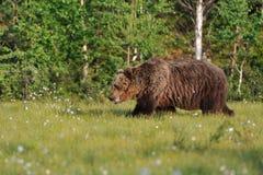 Camminare dell'orso di Brown Immagini Stock