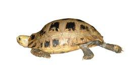 Camminare della tartaruga Immagine Stock Libera da Diritti