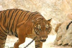 Camminare della tigre Fotografie Stock