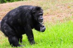 Camminare dello scimpanzé Fotografia Stock